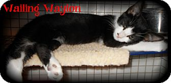 Domestic Shorthair Kitten for adoption in Covington, Louisiana - Wailing Waylon
