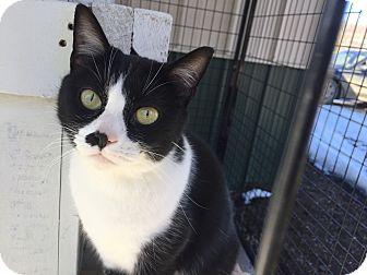 Domestic Shorthair Cat for adoption in Tioga, Pennsylvania - Connie