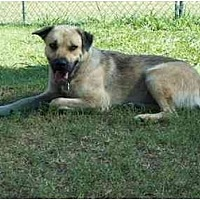 Shepherd (Unknown Type)/Black Mouth Cur Mix Dog for adoption in Kaufman, Texas - Smiley