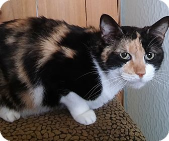 Domestic Shorthair Cat for adoption in Witter, Arkansas - Maggie