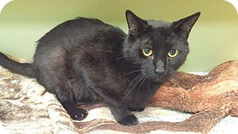 Domestic Shorthair Cat for adoption in Toledo, Ohio - Charlie