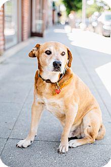 Labrador Retriever/Beagle Mix Dog for adoption in Los Angeles, California - Stockton McCoy