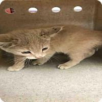 Adopt A Pet :: NASH - Hanford, CA