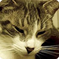 Adopt A Pet :: Pebbles - Potsdam, NY