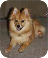 Pomeranian Mix Puppy for adoption in Chesapeake, Virginia - Hastings