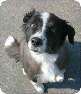 Border Collie Mix Dog for adoption in Phoenix, Oregon - Suzie