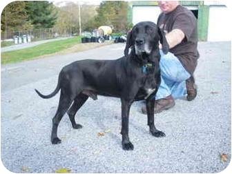 """Labrador Retriever Mix Dog for adoption in MARION, Virginia - """"Jacob"""""""