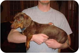 Dachshund Dog for adoption in Vandalia, Illinois - Tucker
