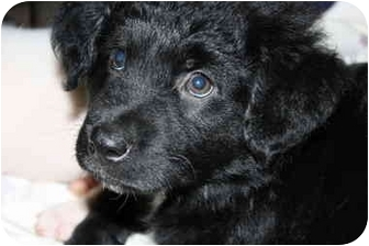 Australian Shepherd/Flat-Coated Retriever Mix Puppy for adoption in Norwich, Connecticut - Lincoln