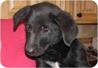 Labrador Retriever Mix Puppy for adoption in West Richland, Washington - Nero