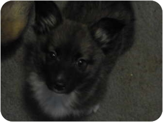 Chihuahua/Terrier (Unknown Type, Small) Mix Puppy for adoption in Wilminton, Delaware - Skippy