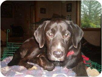 Labrador Retriever Mix Dog for adoption in North Jackson, Ohio - Jack