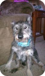 Schnauzer (Miniature) Dog for adoption in Springfield, Missouri - Presley