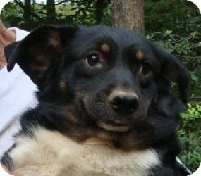 Corgi/Dachshund Mix Dog for adoption in Hagerstown, Maryland - Gizmo ($200 off!!)