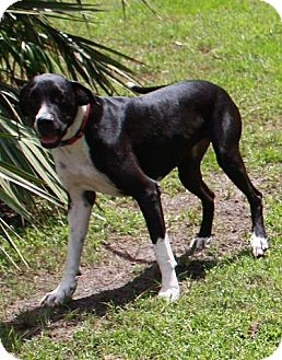 Great Dane Puppy for adoption in Jupiter, Florida - Boots