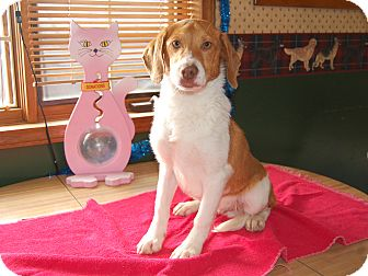 Beagle/Brittany Mix Puppy for adoption in North Judson, Indiana - Joey