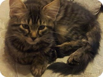 Domestic Longhair Kitten for adoption in Columbia, Maryland - COURTESY POST, Reese
