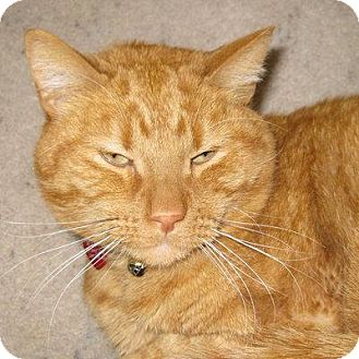 Domestic Shorthair Cat for adoption in Denver, Colorado - Tubs