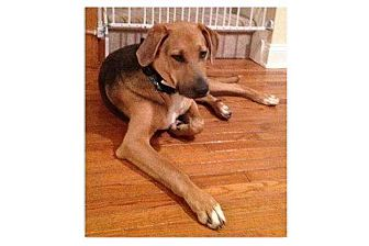Weimaraner/Shepherd (Unknown Type) Mix Dog for adoption in Pompton Lakes, New Jersey - Bones