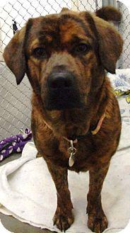 Shar Pei/Labrador Retriever Mix Dog for adoption in Kalamazoo, Michigan - Ginger
