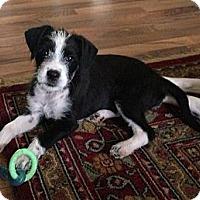 Adopt A Pet :: Star - Kingwood, TX