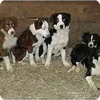 Adopt A Pet :: Belmont Boys - Tiffin, OH