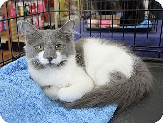 Domestic Mediumhair Kitten for adoption in Bradenton, Florida - Yushi