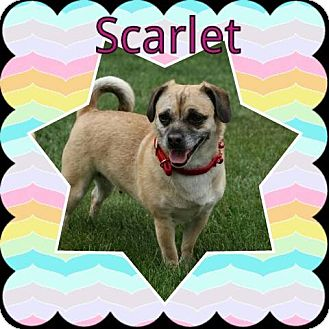 Pug/Dachshund Mix Dog for adoption in Urbana, Ohio - Scarlet
