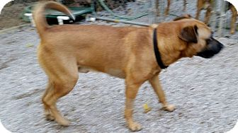 Mountain Cur/Terrier (Unknown Type, Medium) Mix Dog for adoption in Jacksboro, Tennessee - Saul
