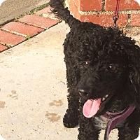 Adopt A Pet :: Henry - Burbank, CA