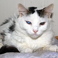 Domestic Shorthair Cat for adoption in New York, New York - April