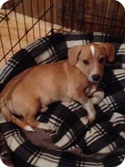 Beagle/Basset Hound Mix Puppy for adoption in Chattanooga, Tennessee - Thor
