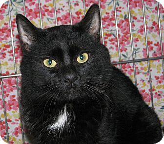 Domestic Shorthair Cat for adoption in New Kensington, Pennsylvania - Allen