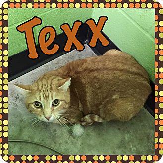 Domestic Shorthair Cat for adoption in Bryan, Ohio - Texx