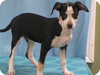 Jack Russell Terrier Mix Puppy for adoption in Maynardville, Tennessee - Kayla