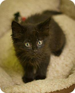 Domestic Mediumhair Kitten for adoption in Circleville, Ohio - Catsy Cline