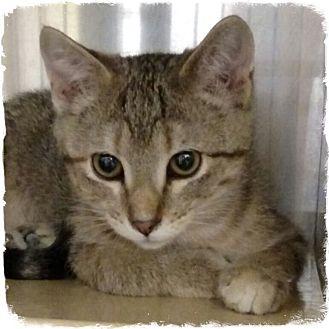Domestic Shorthair Kitten for adoption in Pueblo West, Colorado - StarFire