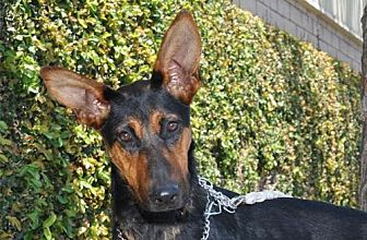 Doberman Pinscher Mix Dog for adoption in Newport Beach, California - Cersai
