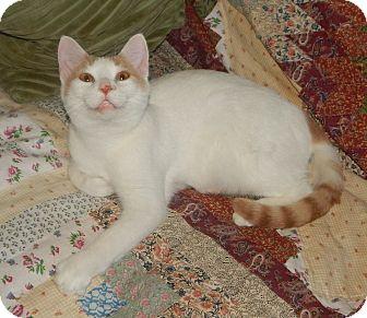 Turkish Van Cat for adoption in Plano, Texas - TURKEY - TURKISH VAN SWEETNESS