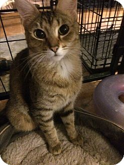 Bengal Cat for adoption in Tracy, California - Joanna-ADOPTED!