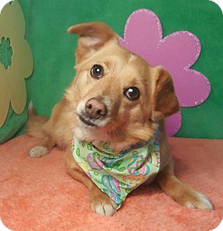 Sheltie, Shetland Sheepdog/Pomeranian Mix Dog for adoption in Normal, Illinois - Maggie