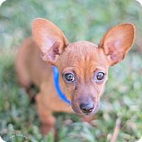 Adopt A Pet :: Rascal - Kingwood, TX