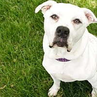 American Bulldog Dog for adoption in Brooklyn Center, Minnesota - Sugar