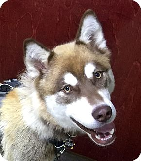 Alaskan Malamute/Siberian Husky Mix Dog for adoption in Boise, Idaho - RUSTY - Needs Foster Home!
