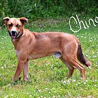 Adopt A Pet :: Chinook - Lebanon, MO