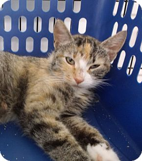 Domestic Shorthair Cat for adoption in Colville, Washington - Sunshine