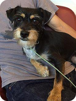 Terrier (Unknown Type, Medium)/Standard Schnauzer Mix Dog for adoption in Redondo Beach, California - Raco
