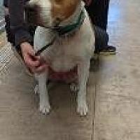 Adopt A Pet :: Sugar Bear - Queenstown, MD