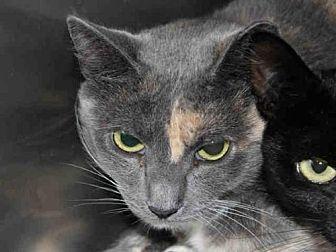 Domestic Mediumhair Cat for adoption in Hampton Bays, New York - SUMMER
