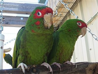 Conure for adoption in Elizabeth, Colorado - Burt